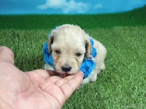 トイプードルの子犬(ID:1255511452)の5枚目の写真/更新日:2020-09-09