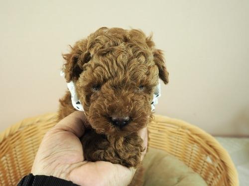 トイプードルの子犬(ID:1255511453)の1枚目の写真/更新日:2021-04-23