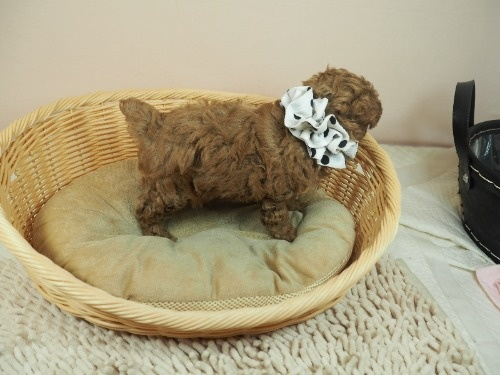 トイプードルの子犬(ID:1255511453)の2枚目の写真/更新日:2021-04-23