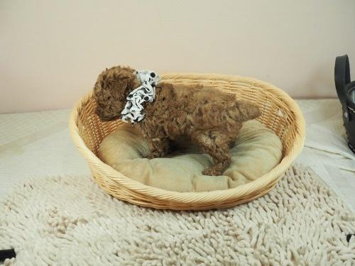 トイプードルの子犬(ID:1255511453)の3枚目の写真/更新日:2021-04-23