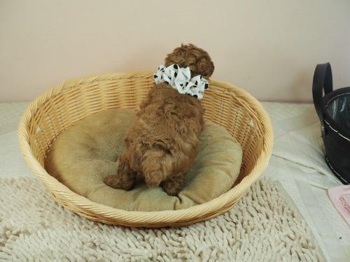 トイプードルの子犬(ID:1255511453)の4枚目の写真/更新日:2021-04-23