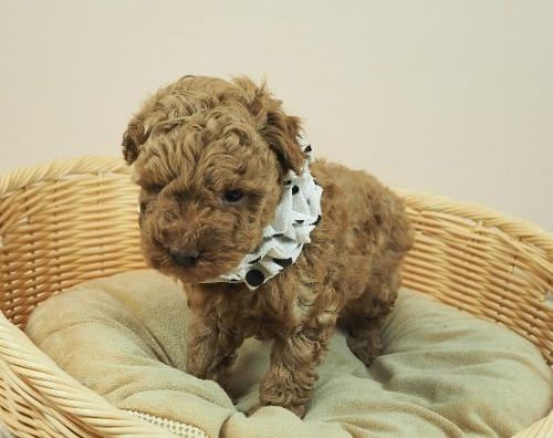 トイプードルの子犬(ID:1255511453)の5枚目の写真/更新日:2021-04-23
