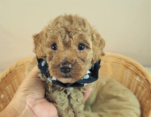 トイプードルの子犬(ID:1255511454)の1枚目の写真/更新日:2020-09-24