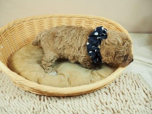 トイプードルの子犬(ID:1255511454)の2枚目の写真/更新日:2020-09-24