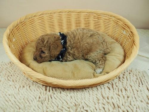 トイプードルの子犬(ID:1255511454)の3枚目の写真/更新日:2020-09-24