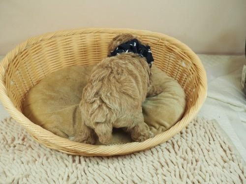 トイプードルの子犬(ID:1255511454)の4枚目の写真/更新日:2020-09-24