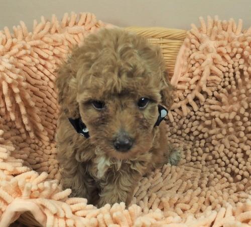 トイプードルの子犬(ID:1255511454)の5枚目の写真/更新日:2020-09-24