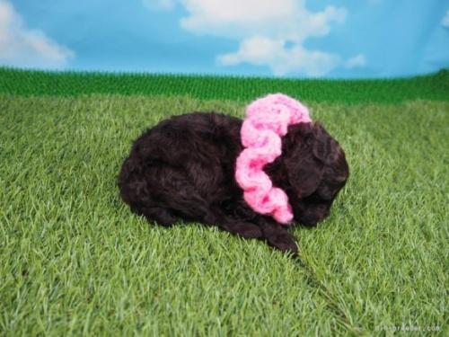 トイプードルの子犬(ID:1255511455)の2枚目の写真/更新日:2021-05-06