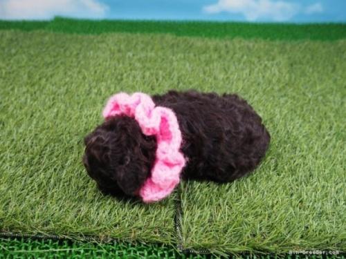 トイプードルの子犬(ID:1255511455)の3枚目の写真/更新日:2021-05-06