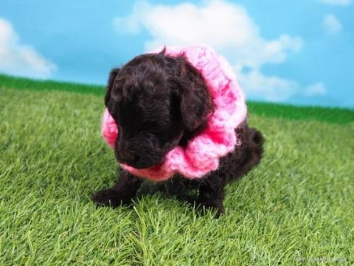 トイプードルの子犬(ID:1255511455)の5枚目の写真/更新日:2021-05-06