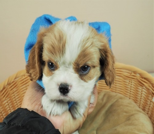 キャバリアの子犬(ID:1255511456)の1枚目の写真/更新日:2020-09-24