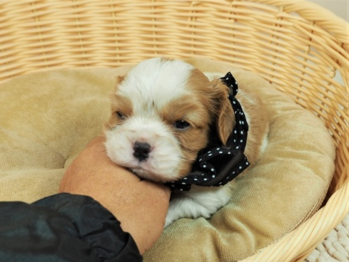 キャバリアの子犬(ID:1255511457)の1枚目の写真/更新日:2020-09-24