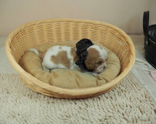 キャバリアの子犬(ID:1255511457)の2枚目の写真/更新日:2020-09-24