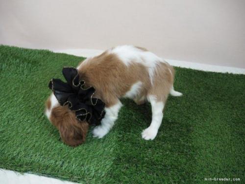 キャバリアの子犬(ID:1255511458)の3枚目の写真/更新日:2020-09-24