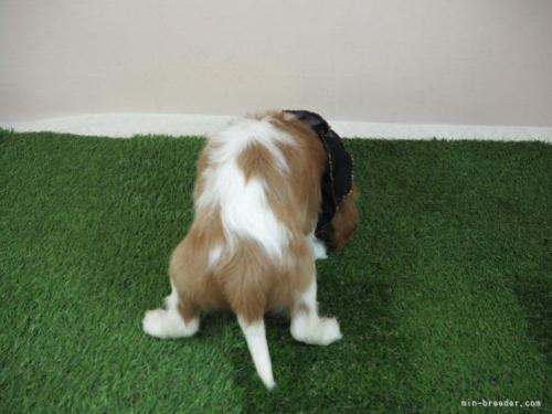 キャバリアの子犬(ID:1255511458)の4枚目の写真/更新日:2020-09-24