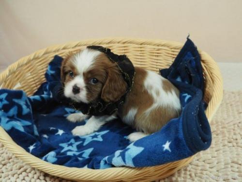 キャバリアの子犬(ID:1255511458)の5枚目の写真/更新日:2020-09-24
