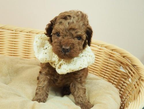 トイプードルの子犬(ID:1255511459)の1枚目の写真/更新日:2020-10-02
