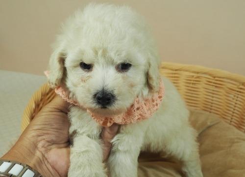 トイプードルの子犬(ID:1255511460)の1枚目の写真/更新日:2020-10-02