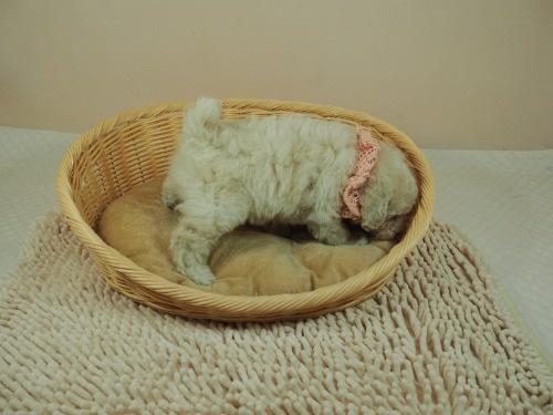 トイプードルの子犬(ID:1255511460)の2枚目の写真/更新日:2020-10-02