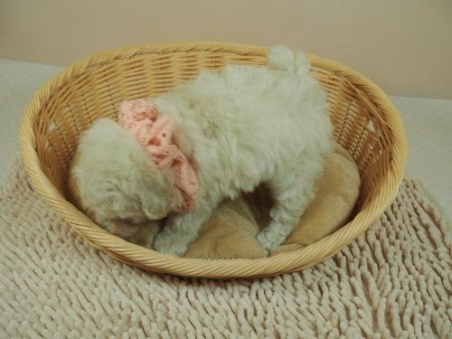 トイプードルの子犬(ID:1255511460)の3枚目の写真/更新日:2020-10-02