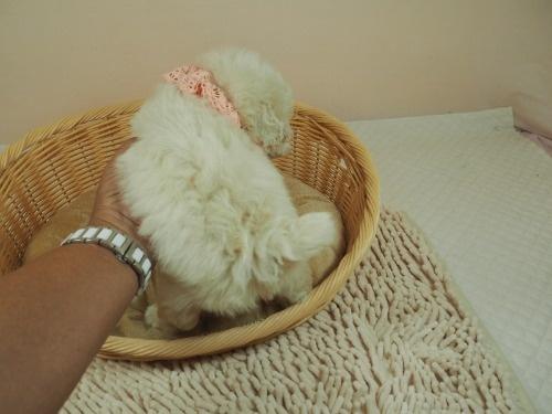 トイプードルの子犬(ID:1255511460)の4枚目の写真/更新日:2020-10-02