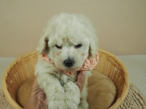 トイプードルの子犬(ID:1255511460)の5枚目の写真/更新日:2020-10-02