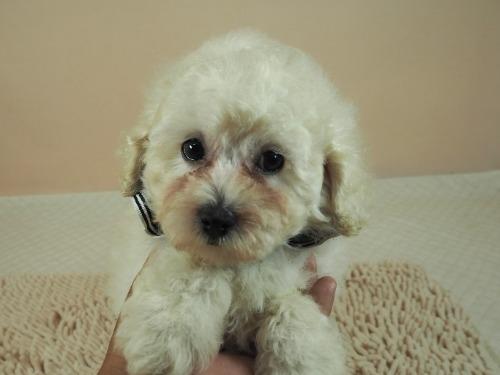 トイプードルの子犬(ID:1255511461)の1枚目の写真/更新日:2021-04-15