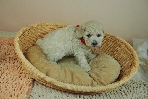 トイプードルの子犬(ID:1255511461)の2枚目の写真/更新日:2021-04-15