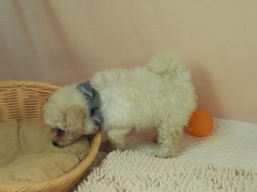 トイプードルの子犬(ID:1255511461)の3枚目の写真/更新日:2021-04-15