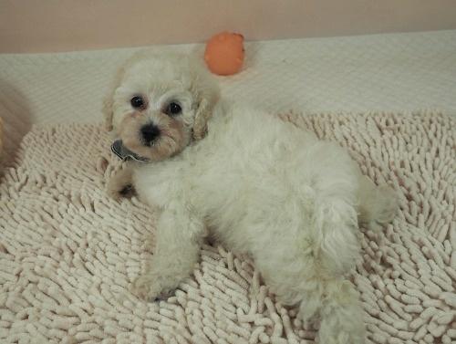 トイプードルの子犬(ID:1255511461)の5枚目の写真/更新日:2021-04-15
