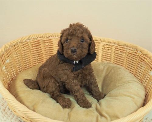 トイプードルの子犬(ID:1255511462)の1枚目の写真/更新日:2021-04-15