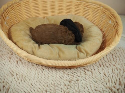 トイプードルの子犬(ID:1255511462)の2枚目の写真/更新日:2021-04-15