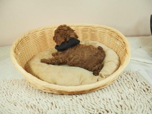 トイプードルの子犬(ID:1255511462)の3枚目の写真/更新日:2021-04-15