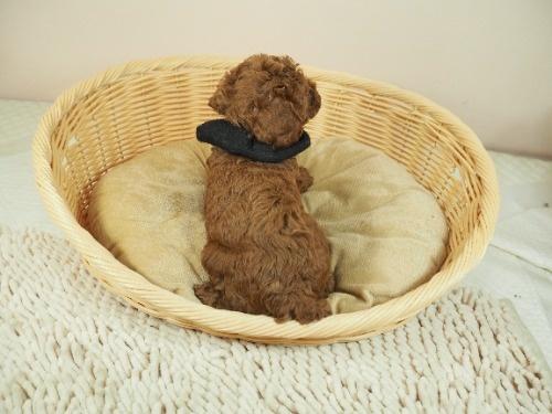 トイプードルの子犬(ID:1255511462)の4枚目の写真/更新日:2021-04-15
