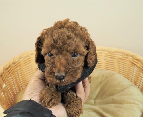 トイプードルの子犬(ID:1255511462)の5枚目の写真/更新日:2021-04-15
