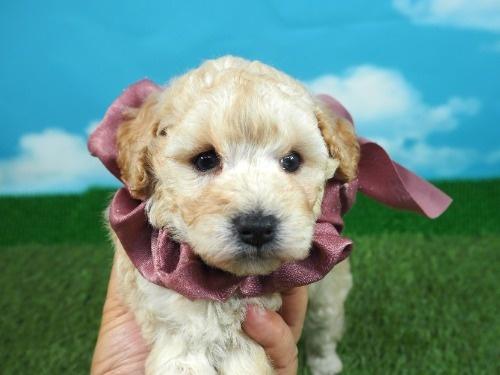 トイプードルの子犬(ID:1255511463)の1枚目の写真/更新日:2021-04-15