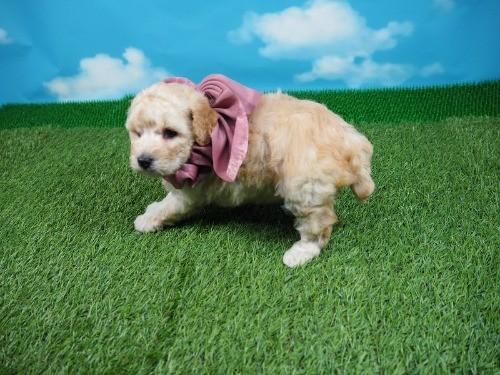 トイプードルの子犬(ID:1255511463)の3枚目の写真/更新日:2021-04-15