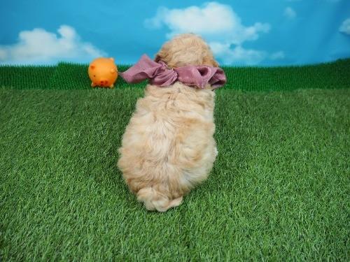 トイプードルの子犬(ID:1255511463)の4枚目の写真/更新日:2021-04-15
