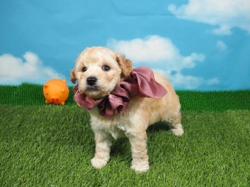 トイプードルの子犬(ID:1255511463)の5枚目の写真/更新日:2021-04-15