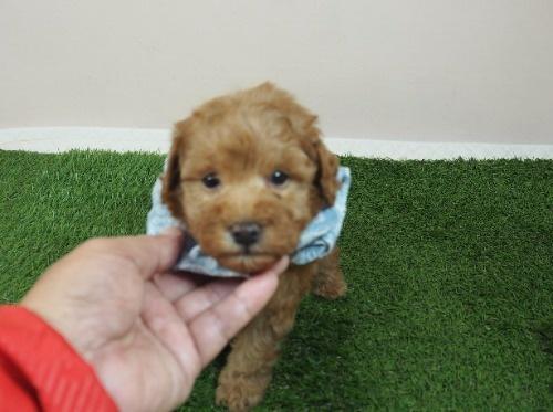 トイプードルの子犬(ID:1255511464)の1枚目の写真/更新日:2020-10-02