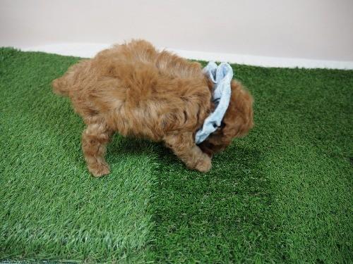 トイプードルの子犬(ID:1255511464)の2枚目の写真/更新日:2020-10-02