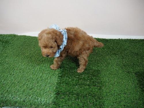 トイプードルの子犬(ID:1255511464)の3枚目の写真/更新日:2020-10-02