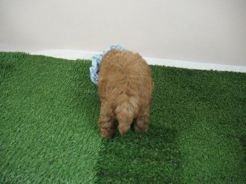 トイプードルの子犬(ID:1255511464)の4枚目の写真/更新日:2020-10-02