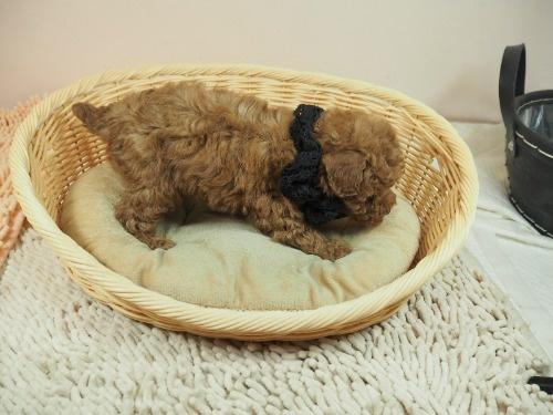トイプードルの子犬(ID:1255511465)の2枚目の写真/更新日:2020-10-02
