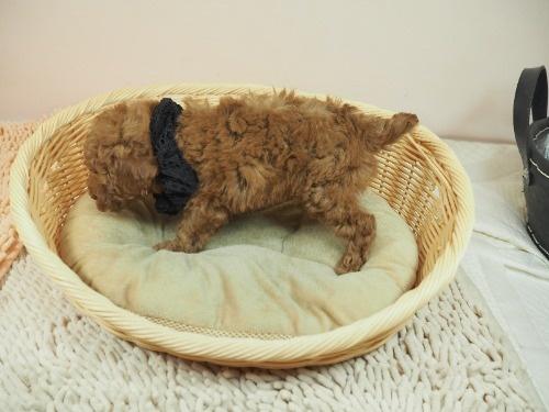 トイプードルの子犬(ID:1255511465)の3枚目の写真/更新日:2020-10-02