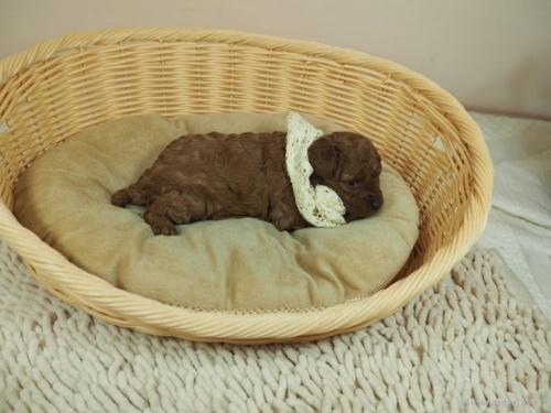 トイプードルの子犬(ID:1255511466)の2枚目の写真/更新日:2020-10-02