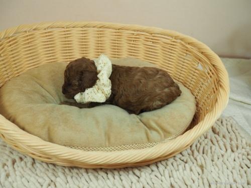 トイプードルの子犬(ID:1255511466)の3枚目の写真/更新日:2020-10-02