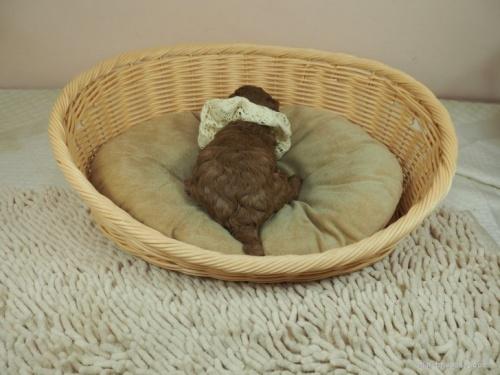 トイプードルの子犬(ID:1255511466)の4枚目の写真/更新日:2020-10-02