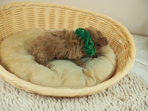 トイプードルの子犬(ID:1255511467)の2枚目の写真/更新日:2020-10-02