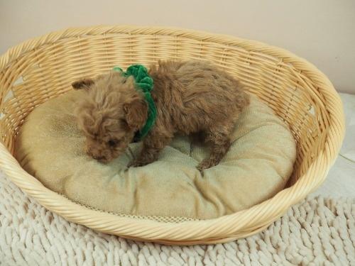 トイプードルの子犬(ID:1255511467)の3枚目の写真/更新日:2020-10-02